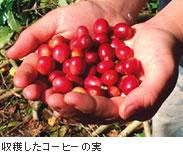 収穫したコーヒーの実
