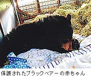 保護されたブラックベアーの赤ちゃん