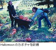 Halloweenのカボチャを収穫